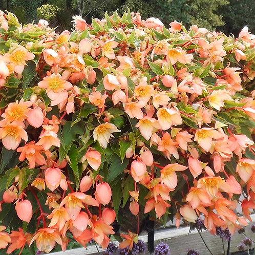 "Begonia Summerwing 4.5"" Pots"