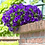 """Thumbnail: Petunia Surfina 10"""" Hanging Basket"""