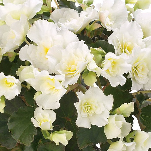 """Begonia Rieger Upright 4.5"""" Pots"""
