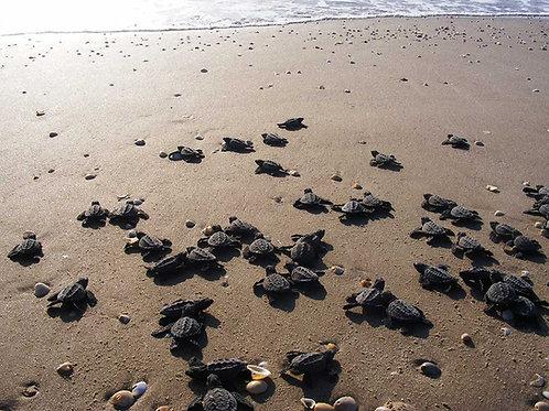 Liberación de tortugas + Tajín