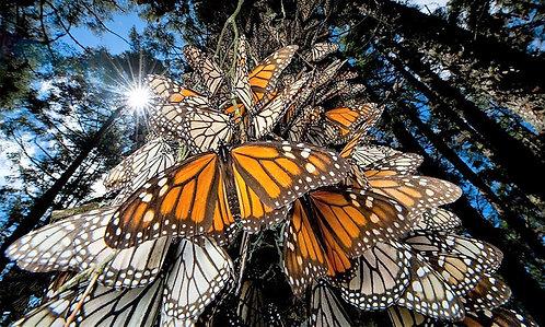 Mariposa Monarca Michoacán + El Oro +Presa Broockman