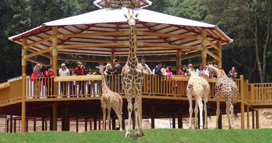 cuatro-jirafas-publico.jpg