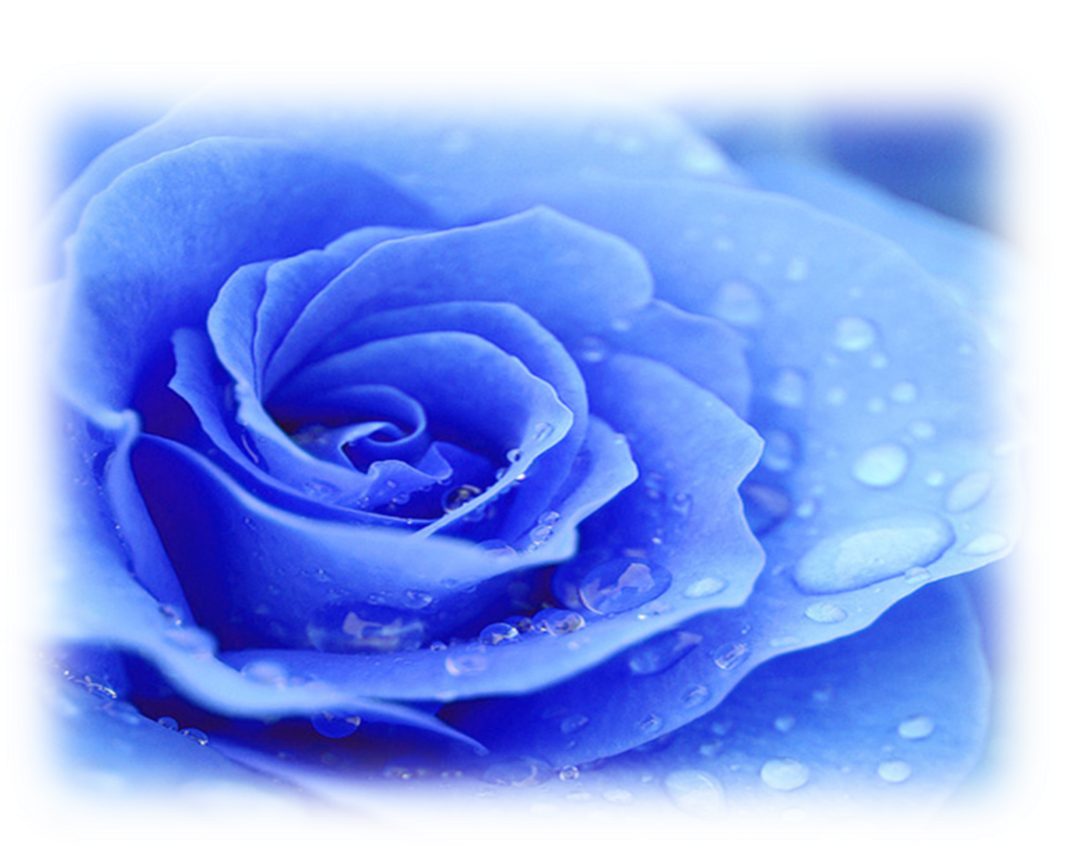 blue rose.png