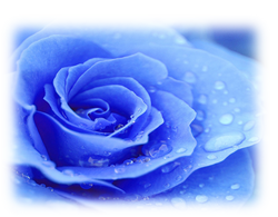 blue rose.png
