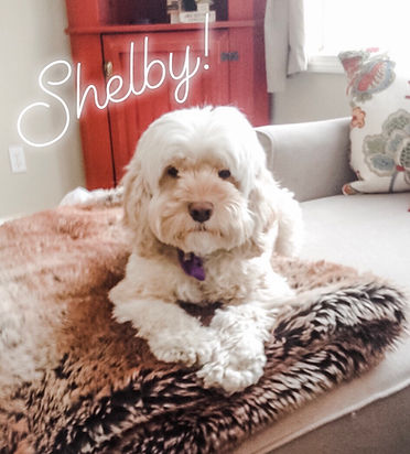 Shelby the Cockapoo at Shelburne Gift Company