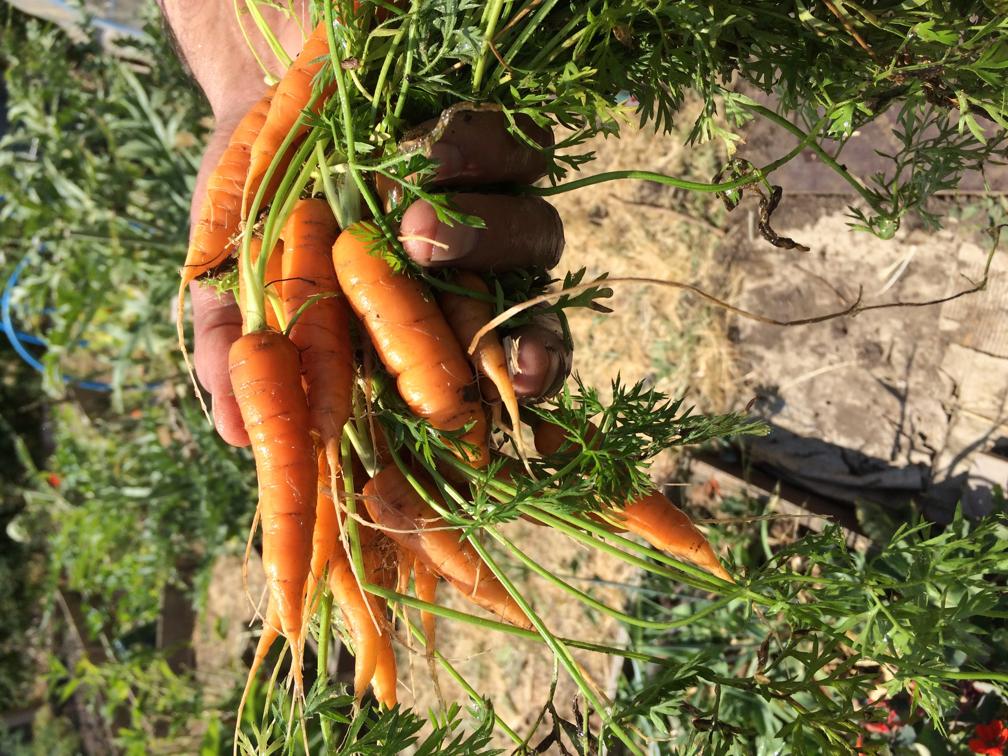 Carrots in hand