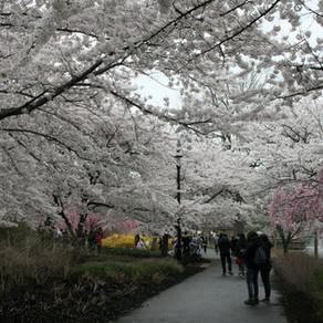 Cherry Blossom 10k Memories 2021, with Chris Troyano