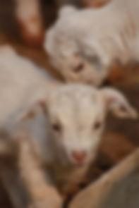 小羊调过色197295.jpg