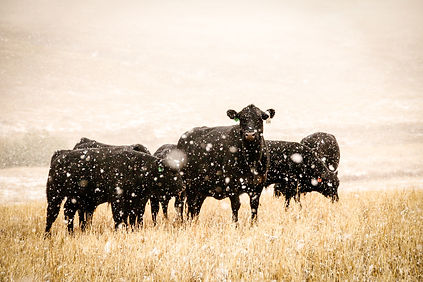 cows_snow.jpeg
