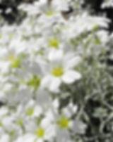 cerastium-tomentosum-772267_640.jpg