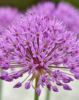 Allium-3412883_640.jpg