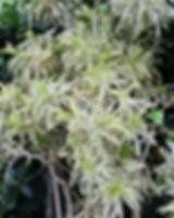 Chlorophytum.jpg