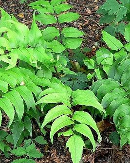 Cyrtomium-falcatum-Felce-agrifoglio (1).