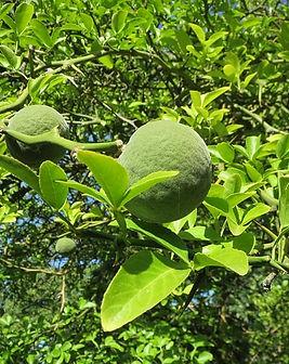 poncirus-citrus-trifoliata-848768_640.jp