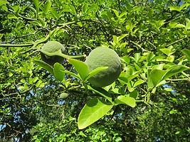 poncirus citrus trifoliata arancio trifogliato