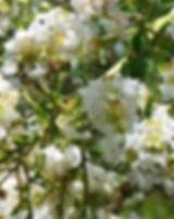 myrtus-communis-1556056_640.jpg