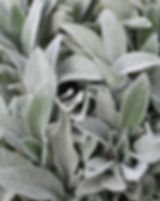 stachys-3380251_640.jpg