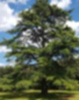 cedrus-1390935_640_edited.jpg