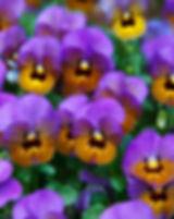 viola-21968_640.jpg