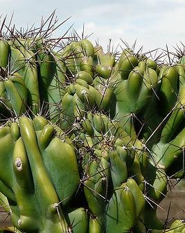 Cereus.jpg