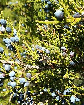 Juniperus-Ginepro.jpg