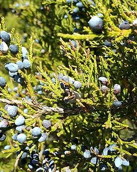 Juniperus-1023638_640.jpg