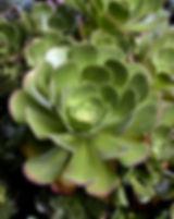 Aeonium.jpg