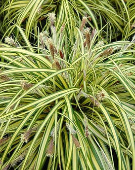 "Carex-morrowii-""Variegata"".jpg"