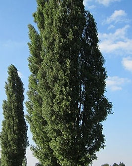 populus-nigra-pioppo.jpg