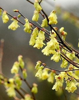 Corylopsis-pauciflora-fiori.jpg