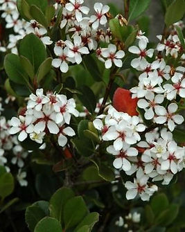 Rhaphiolepis umbellata Ovata.jpg