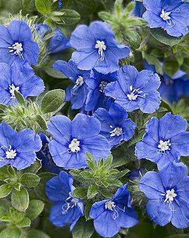 csm_Evolvulus_Blue_My_Mind_closeUp_01_79