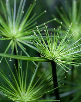 cyperus.jpg