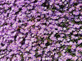 Lampranthus.jpg