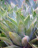 agave-3561243_640.jpg