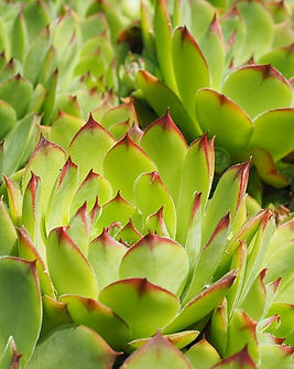 Sempervivum-2117369_640.jpg
