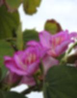 bauhinia-3794249_640.jpg
