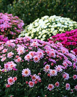 chrysanthemums-crisantemo.jpg