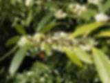 osmanthus-osmanto.jpg