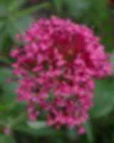 centranthus-ruber-884234_640.jpg