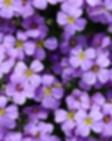 Aubrieta-52188_640.jpg