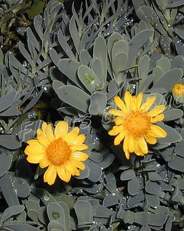 othonna-ou-othonnopsis-cheirifolia.jpg