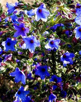 lithodora-heavenly-blu-(lithodora-diffus