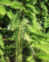 metasequoia.jpg