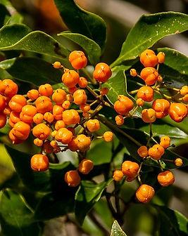 Pittosporum-orange-berries.j