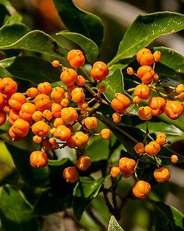 Pittosporum-orange-berries-1234013_640.j