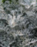 senecio-225911_640.jpg