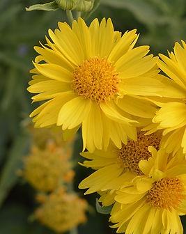 gaillardia-mesa-yellow.jpg