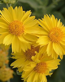 gaillardia-mesa-yellow-2486283_640.jpg