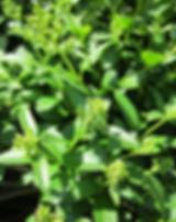ligustrum-vulgare-ligustro.jpg